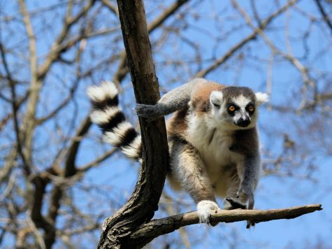 Endangered Species: Ring-Tailed Lemurs