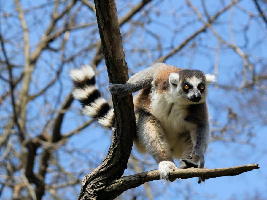 Endangered+Species%3A+Ring-Tailed+Lemurs